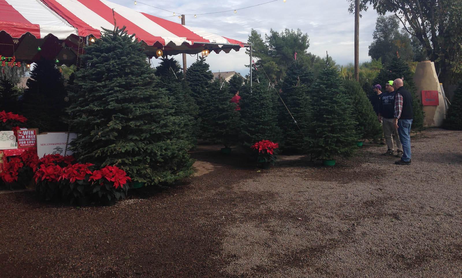 Noble Fir Tree | Christmas Trees | Moon Valley Nurseries Christmas Trees